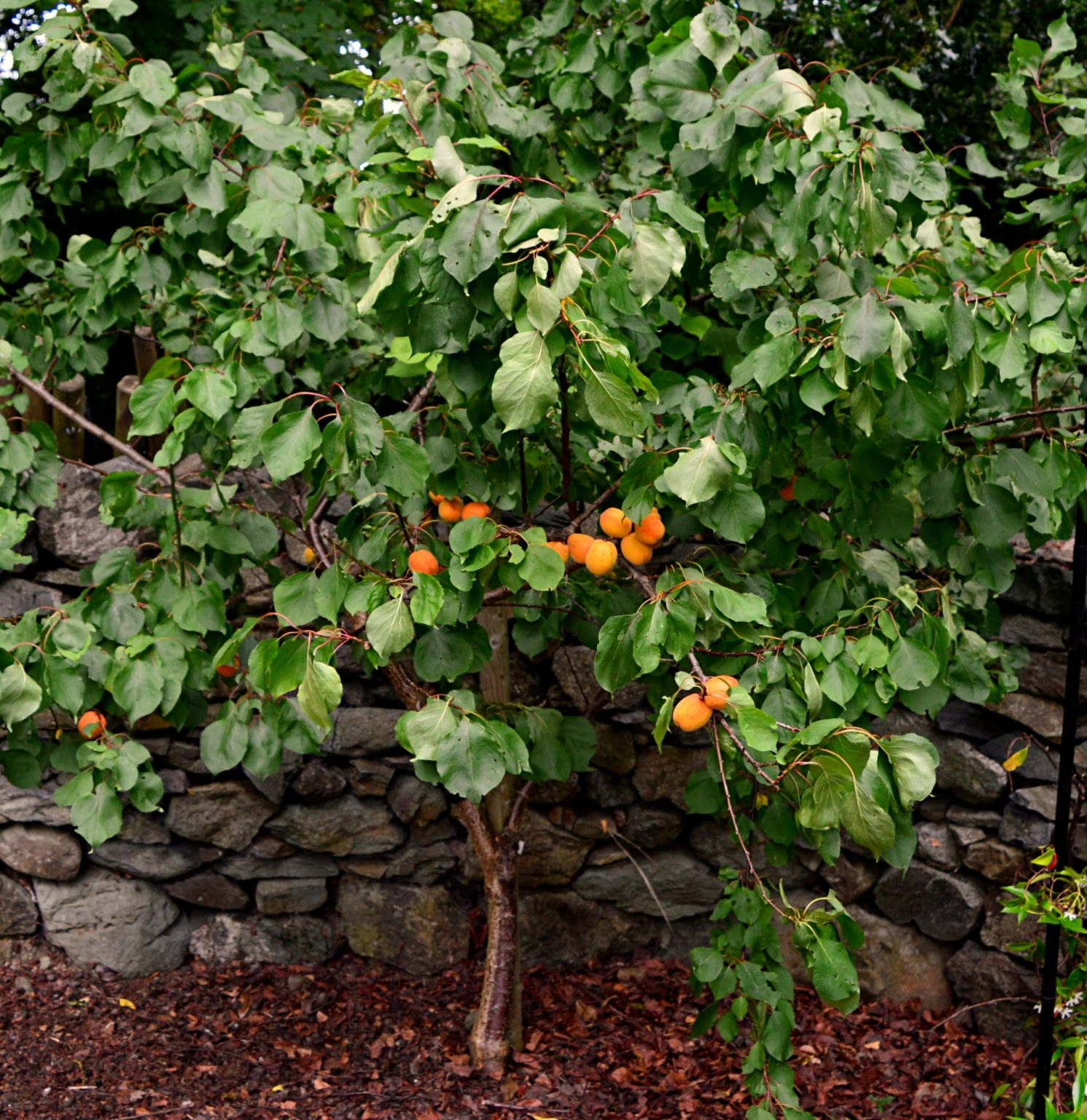 Apricot tree august