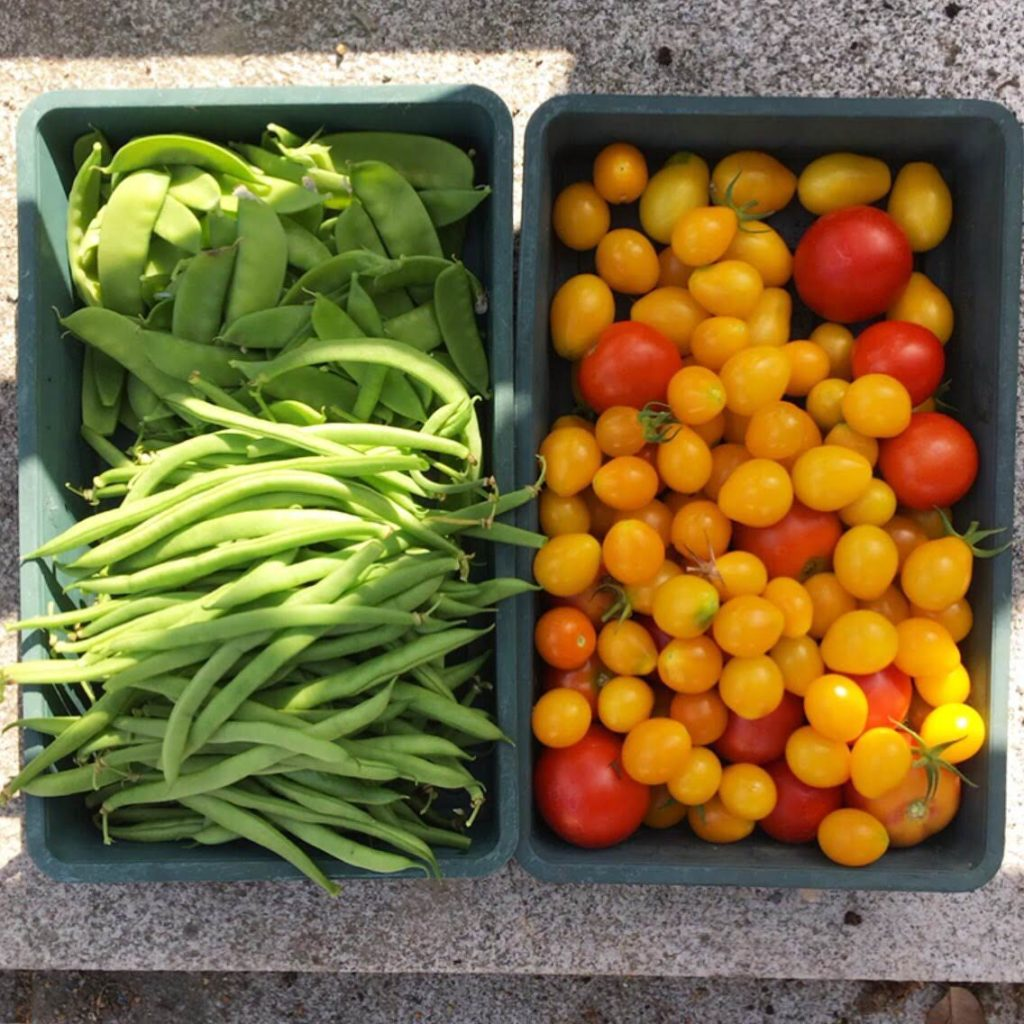 Tomato and bean harvest