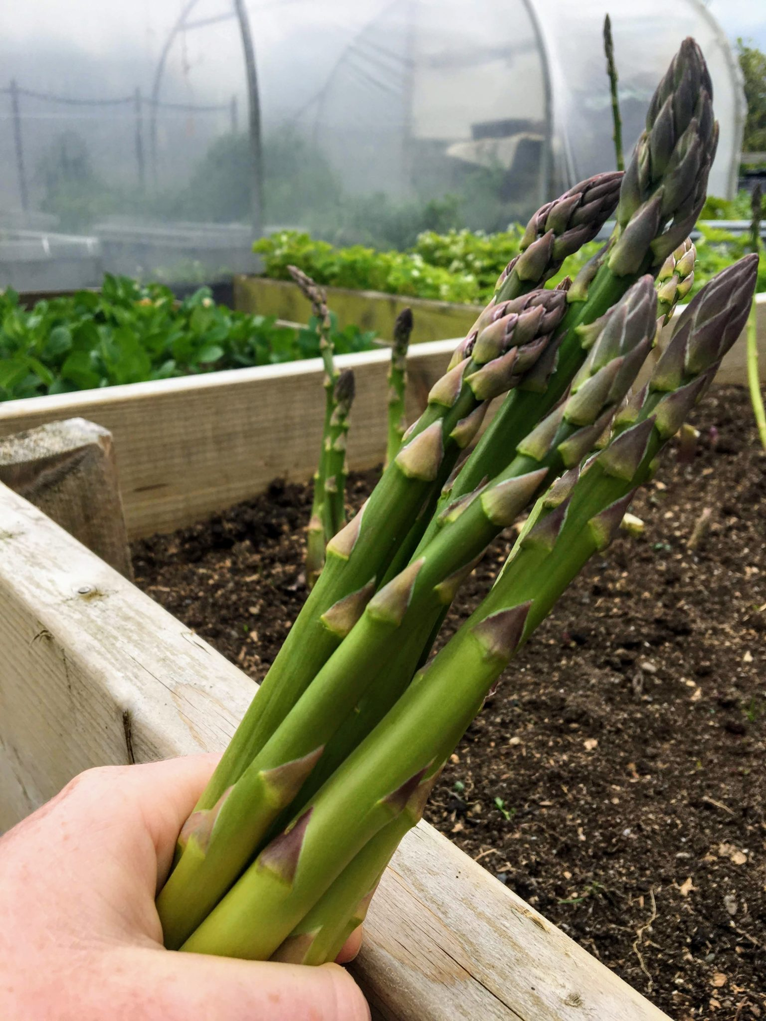 First asparagus in May