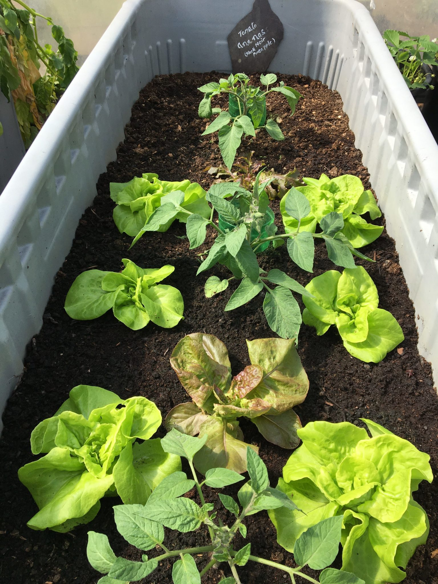 Lettuce and tomato plants